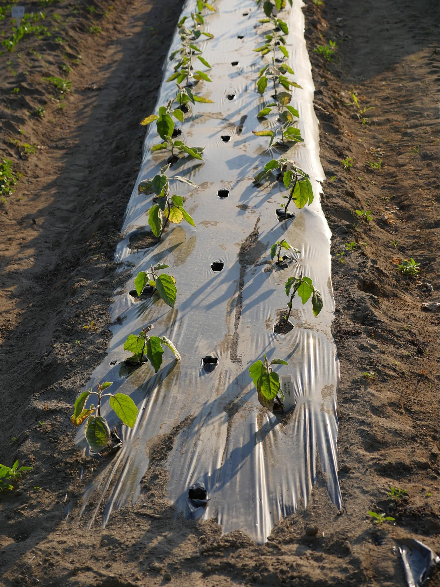Figure 1. Black plastic covered raised beds for Abbotsford Eggplant Trial.