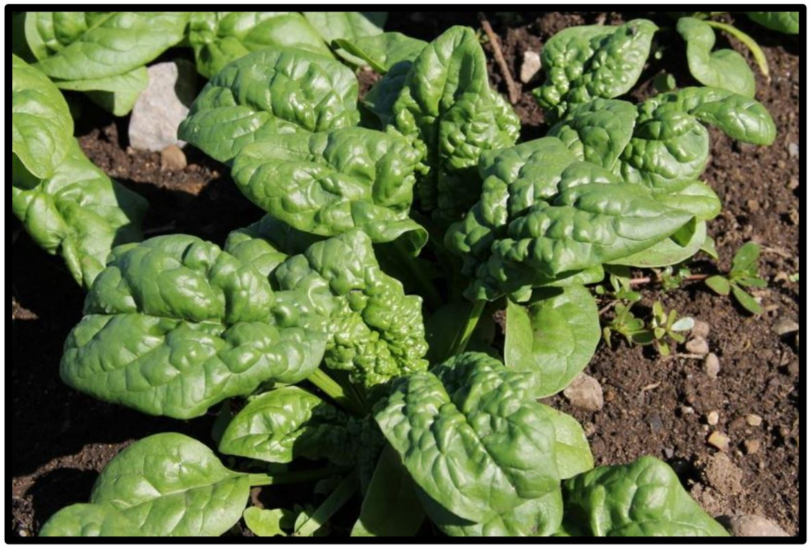 Savoy-type spinach leaves